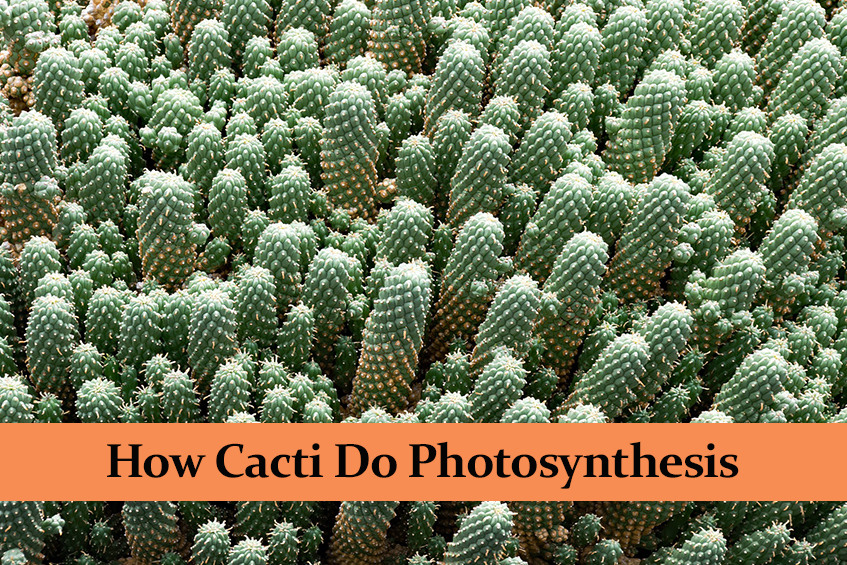 How Cacti Do Photosynthesis and Why They Do It Differently