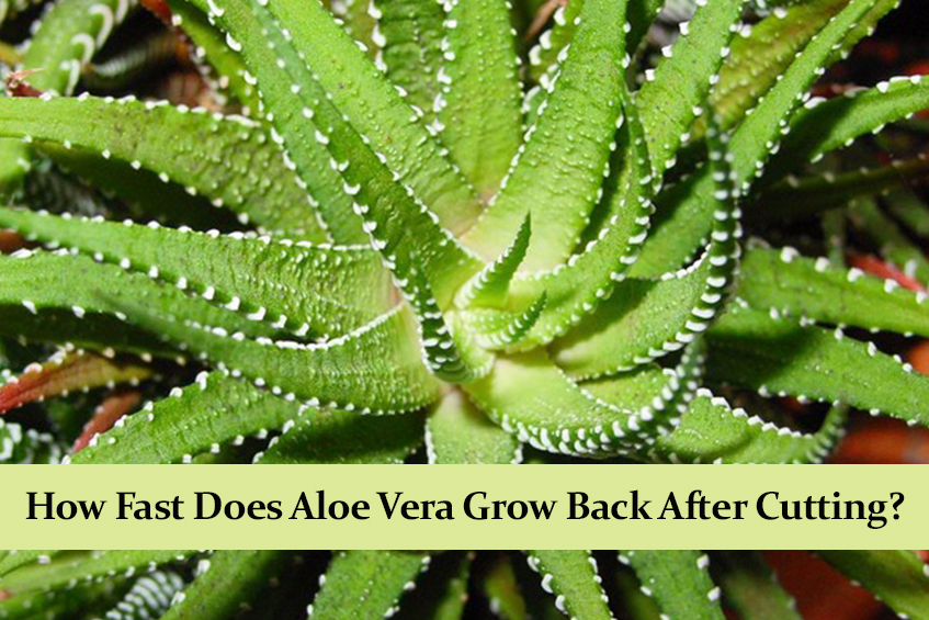 How Fast Does Aloe Vera Grow Back After Cutting