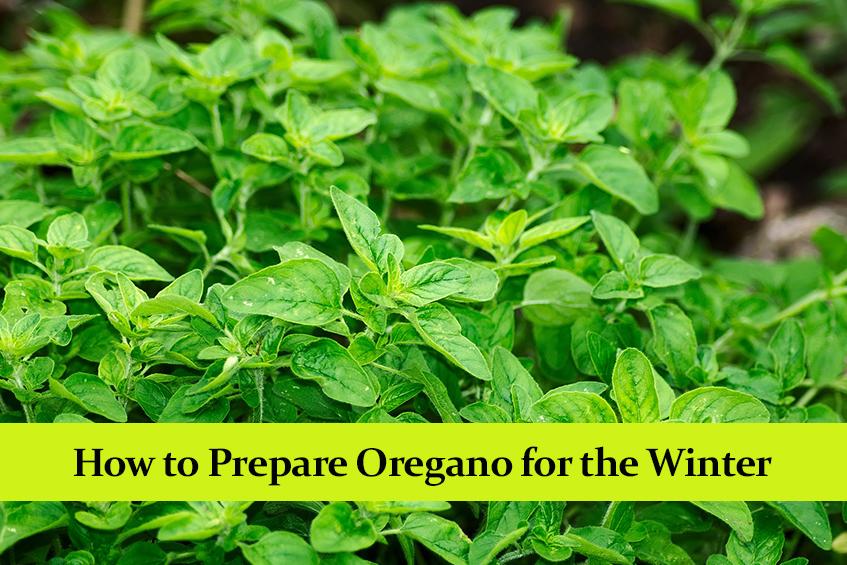 How to Prepare Oregano for the Winter