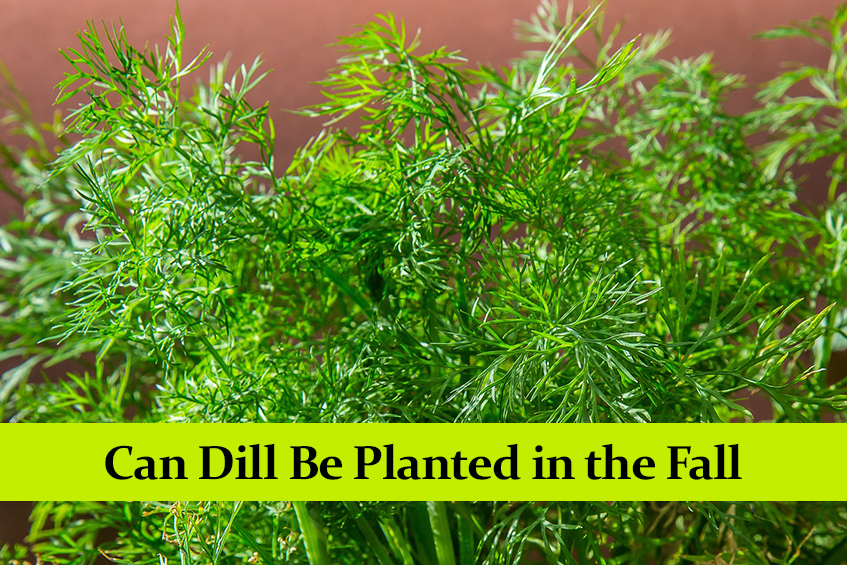 Can Dill Be Planted in the Fall