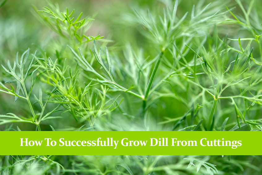 How To Successfully Grow Dill From Cuttings