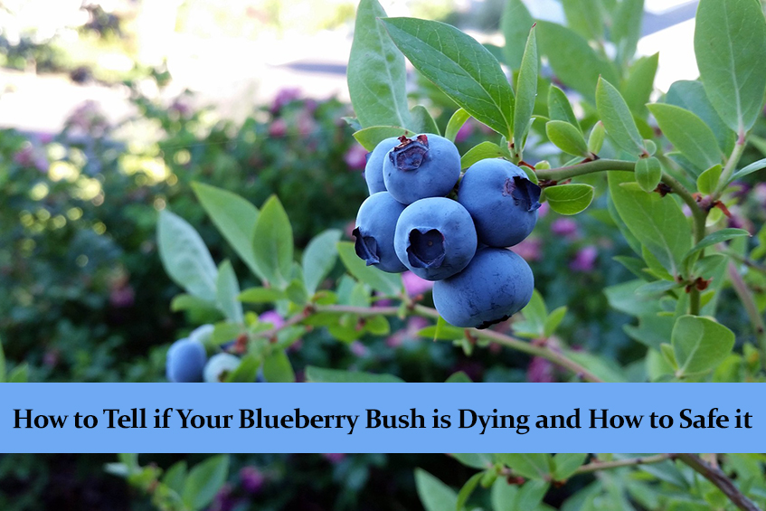 How to Tell if Your Blueberry Bush is Dying and How to Safe it
