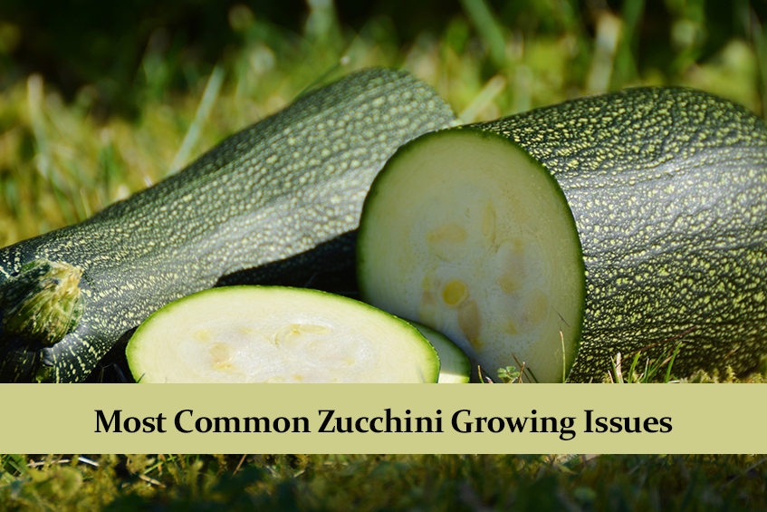 Most Common Zucchini Growing Issues and How to Solve Them