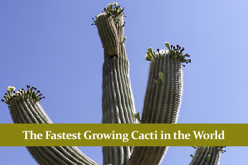 The Fastest Growing Cacti in the World