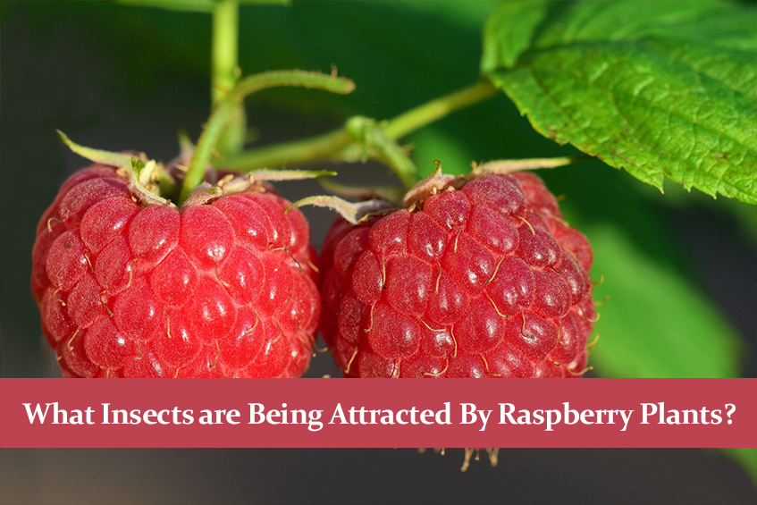 What Insects are Being Attracted By Raspberry Plants?