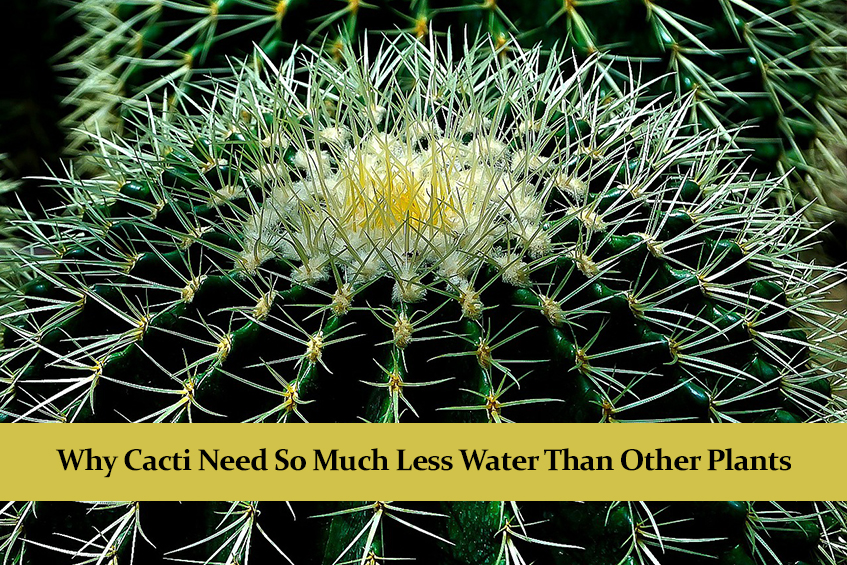 Why Cacti Need So Much Less Water Than Other Plants