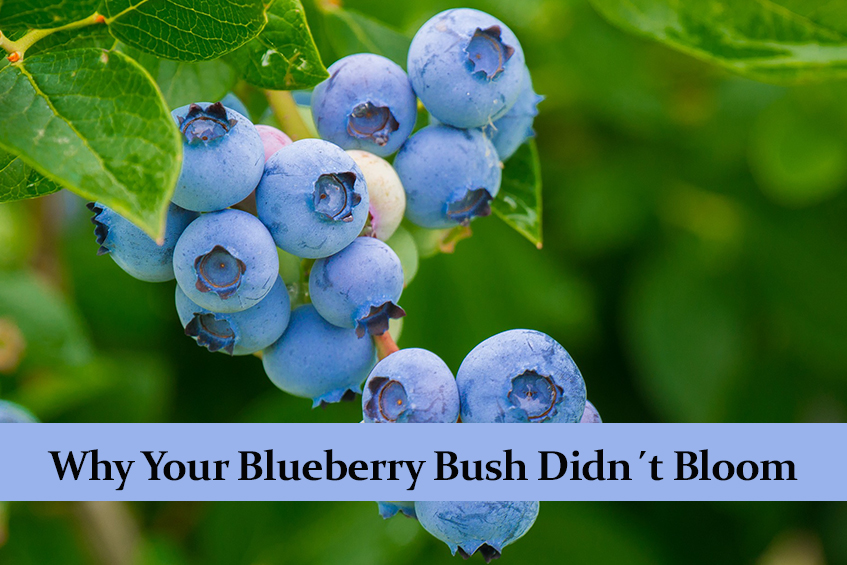 Why Your Blueberry Bush Didn´t Bloom