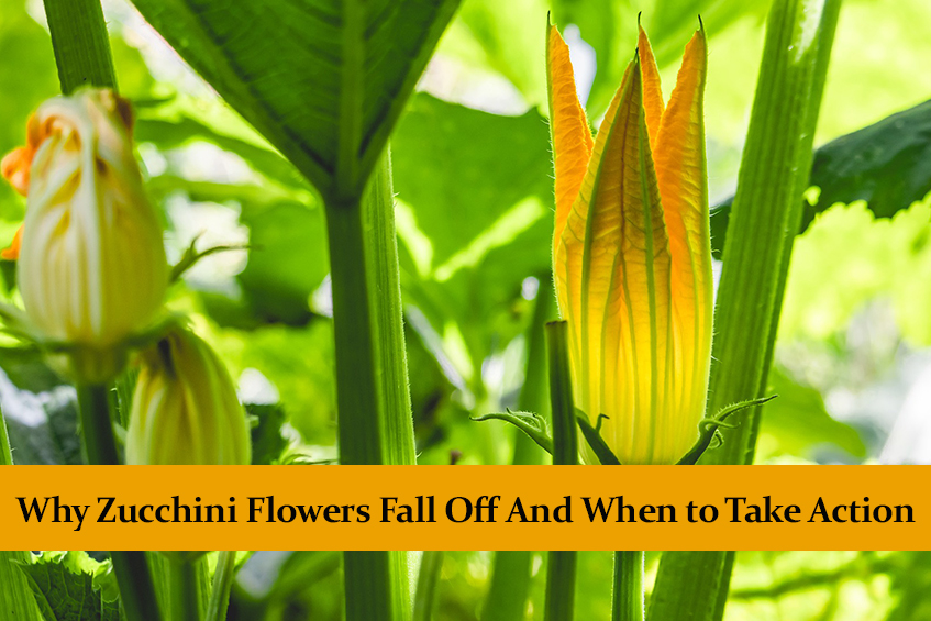 Why Zucchini Flowers Fall Off And When to Take Action